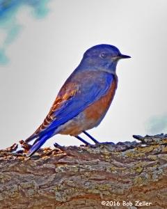 Western Bluebird - 1/1600 sec. @ f6.3, +1.7EV, ISO 2500.
