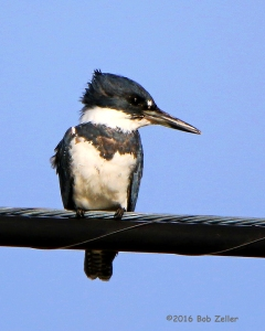 Belted Kingfisher, male. - 1/600 sec. @ f6.3, ISO 160.