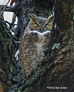 Great Horned Owl - 1/1250 sec. @f6.3, +0.7 EV, ISO 6400.