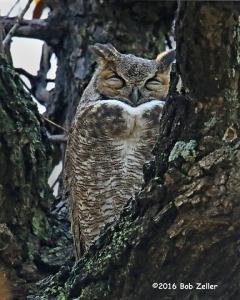 Great Horned Owl - 1/1250 sec. @f6.3, +0.7 EV, ISO 6400.