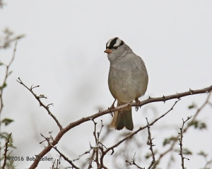 White-crowned Sparrow - 1250 sec. @ f7.1, +0.7 EV, ISO 1000.