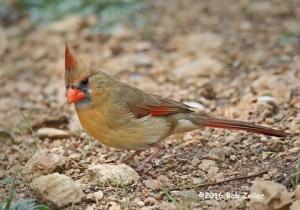 Northern Cardinal, female - 1250 sec. @ f7.1, ISO 4000.