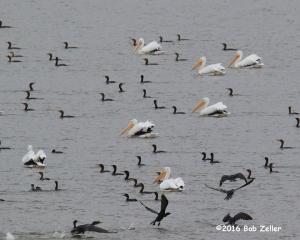 Pelicans and Cormorants - 1/800 sec. @ f10, ISO 1000