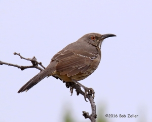 Curve-billed Thrasher - 1/1000 sec. @ f8, +0.7, ISO 1600.