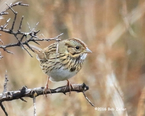 Lincoln's Sparrow - 1/640 @ f8, +0.7 EV, ISO 6400.