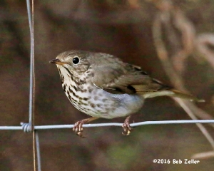 Hermit Thrush after post-processing. Noise from the high ISO was removed using DeNoise.