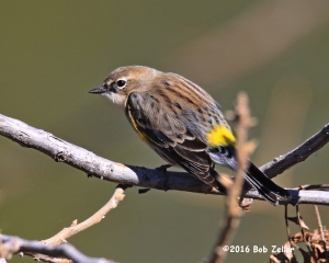 Yellow-rumped Warbler - 1/1600 sec. @ f7.1, ISO 5000