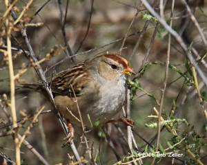 White-crowned Sparrow - 1/1600 sec. @ f6.3, ISO 640.