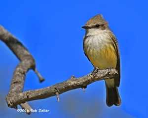 Vermilion Flycatcher, female. 1/1250 sec. @ f7.1, ISO 250.