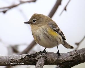 Yellow-rumped Warbler. 1/1000 sec @ f6.3, ISO 5000.