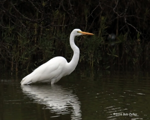 Great Egret - 1/1000 sec. @ f7.1, ISO 1600.