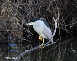 Adult Black-crowned Night Heron - 1/1000 sec @f6.3, +0.3 EV, ISO 6400