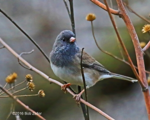 Dark-eyed Junco - 1/1250 sec. @ f6.3, +.03 EV, ISO 6400