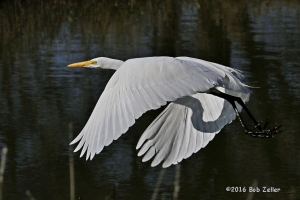 Great Egret. 1/1600 sec. @ f10, -0.3 EV, ISO 100.