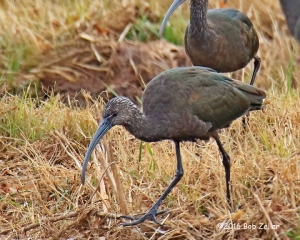 White-faced Ibis. 1/1000 sec. @ f7.1, -0.3 EV, ISO 1250.
