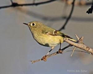Ruby-crowned Kinglet. 1/1250 sec. @ f6.3, ISO 500