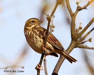 Savannah Sparrow. 1/1000 sec. @ f7.1, ISO 320.