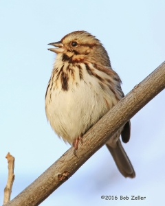 Song Sparrow. 1/800 sec. @ f6.3, +0.7, ISO 800