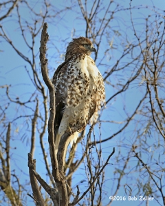 Red-tailed Hawk. 1/1000 sec. @ f7.1, -0.3 EV, ISO 640.