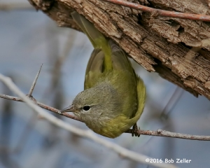 Orange-crowned Warbler. 1/640 sec. @ f6.3, ISO 6400.