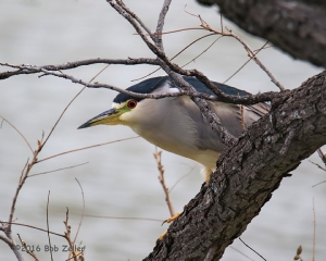 Black-crowned Night Heron. 1/500 sec. @ 6.3, ISO 3200.
