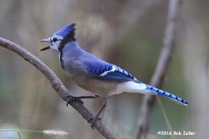 Blue Jay. 1/1000 sec. @ f7.1, ISO 6400.