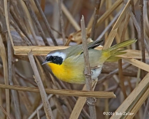 Common Yellowthroat - 1/800 sec. @ f6.3, +0.7 EV, ISO 5000.