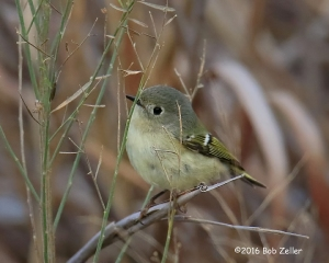 Ruby-crowned Kinglet - 1/500 sec. @ f6.3. +0.3 EV, ISO 3200.