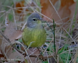 Orange-crowned Warbler - 1/1000 sec. @ f6.3, +0.3 EV, ISO 2500.