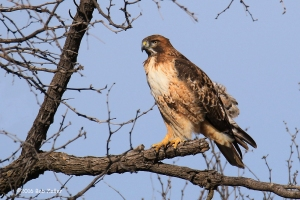 Red-tailed Hawk - 1/1000 sec. @ f7.1, +0.3 EV, ISO 160.
