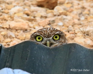 Burrowing Owl peeking at me.