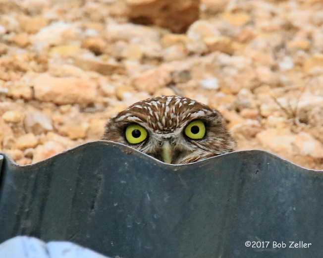 4g7a0101-net-owl-burrrowing-bob-zeller