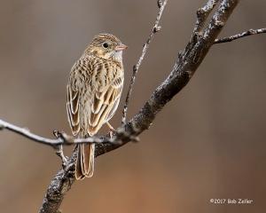 Vesper Sparrow - 1/640 sec. @ f6.3, +0.3 EV, ISO 500