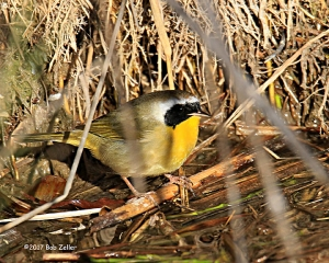Common Yellowthroat - 1/800 sec. @ f6.3, +0.3 EV, ISO 400.