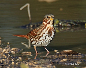 Fox Sparrow - 1/800 sec. @ f6.3, -0.3 EV, ISO 250.