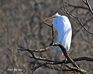 Great Egret - 1/1250 sec. @ f7.1, +0.7 EV, ISO 400