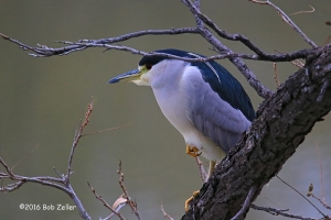 Black-crowned Night Heron - 1/750 sec. @f6.3, +0.7 EV, ISO 2000.