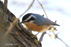 Red-breasted Nuthatch - 1/1250 sec. @ f6.3, +0.7 EV, ISO 2500.