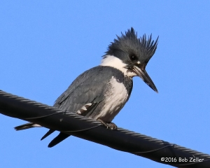 Belted Kingfisher - 1/1250 sec. @ f22, ISO 2500
