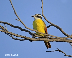 Great Kiskadee - 1/640 sec. @ f6.3, ISO 125.