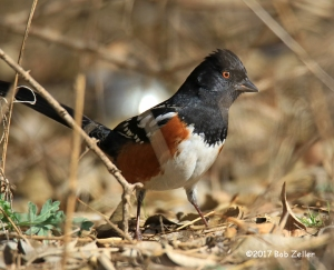 Spotted Towhee - 1/1000 sec. @ f6.3, ISO 640.