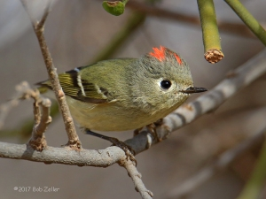 Ruby-crowned Kinglet - 1/1000 sec. @ f7.1, ISO 640.