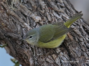 Orange-crowned Warbler. 1/640 sec. @ f6.3, +0.7 EV, ISO 6400.