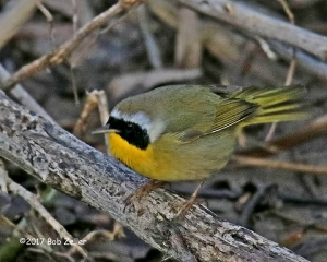 Common Yellowthroat - 1/500 sec. @ f6.3, +0.3 EV, ISO 3200.