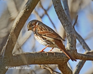 Fox Sparrow - 1/1000 sec. @ f7.1, +0.3, ISO 1600