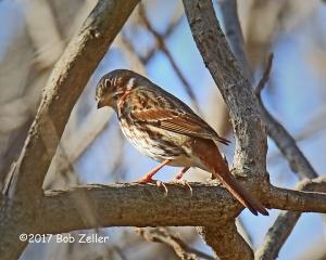 Fox Sparrow - 1/1000 sec. @ f7.1, +0.3, ISO 1600