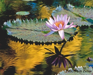 Magnificent Ballerina - a water lily from the San Angelo Water Lily collection.
