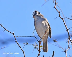 White-crowned sparrow - 1/640 sec. @ f9, ISO 250.