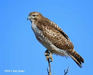 Red-tailed Hawk - 1/1600 sec, @ f6.3, ISO 250.