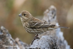 House Finch, female - 1/500 sec. @ f6.3, +0,7 EV, ISO 3200, 550mm.